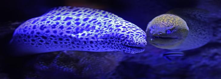 Moray eels can hunt on land to their Alien-like extending secondary jaws