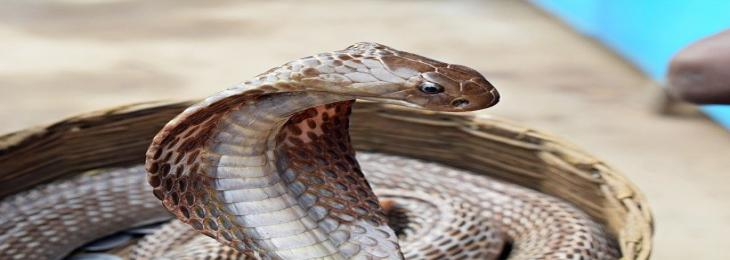 Super Glue Formed by Snake Venom Plugs Bleeding instantly